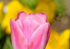 Una abeja con un tulipán rosado Foto de archivo libre de regalías