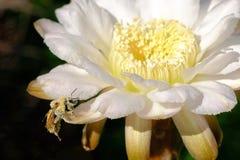 Una abeja, cubierta totalmente con el polen amarillo, sentándose en la flor de un cactus, la Argentina Fotografía de archivo libre de regalías