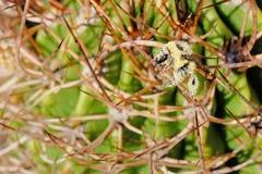 Una abeja, cubierta totalmente con el polen amarillo, sentándose en las espinas de un cactus, la Argentina Imágenes de archivo libres de regalías