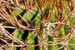 Una abeja, cubierta totalmente con el polen amarillo, sentándose en las espinas de un cactus, la Argentina Fotos de archivo
