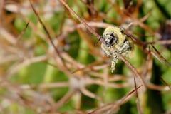 Una abeja, cubierta totalmente con el polen amarillo, sentándose en las espinas de un cactus, la Argentina Imagen de archivo