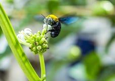 una abeja de carpintero Fotografía de archivo libre de regalías