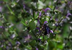 Una abeja de carpintero negra con las alas púrpuras recoge el néctar de las flores del sabio Latipes del Xylocopa imagen de archivo libre de regalías