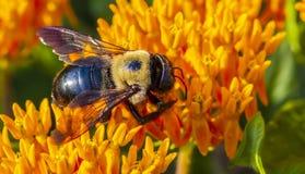 Una abeja de carpintero que poliniza una flor Foto de archivo
