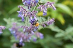 Una abeja de la carda mechera en una flor púrpura del catmint en un jardín Foto de archivo