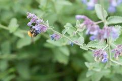 Una abeja de la carda mechera en una flor púrpura del catmint en un jardín Imagen de archivo libre de regalías