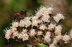 Una abeja de la miel. Imagen de archivo libre de regalías