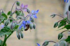 Una abeja de la miel alimenta en una flor azul de la borraja Imagen de archivo libre de regalías