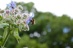Una abeja de la miel alimenta en una flor azul de la borraja Fotografía de archivo