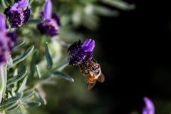 Una abeja de la miel alimenta en una flor del romero Fotos de archivo