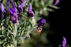 Una abeja de la miel alimenta en una flor 3 del romero Imagenes de archivo