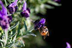 Una abeja de la miel alimenta en una flor 2 del romero Fotografía de archivo