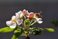 Una abeja de la miel en una cereza Fotografía de archivo