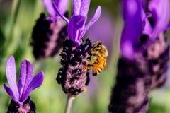 Una abeja de la miel en el cierre del romero para arriba Fotografía de archivo