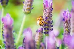 Una abeja de la miel en una lavanda francesa Imagenes de archivo