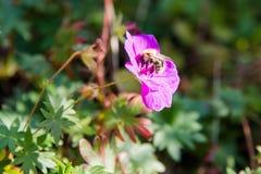 Una abeja de la miel en un wildflower rosado Imágenes de archivo libres de regalías