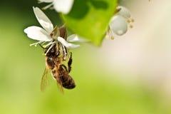 Una abeja de la miel en una cereza Imagen de archivo libre de regalías