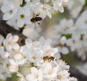 Una abeja de la miel en una flor Fotografía de archivo libre de regalías
