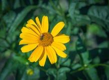 Una abeja de la miel en una flor Imagen de archivo