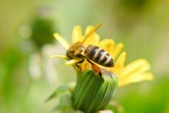 Una abeja de la miel en una flor del diente de león Imagen de archivo libre de regalías