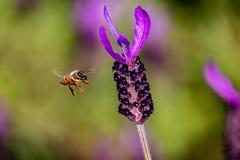 Una abeja de la miel en vuelo al lado de una planta floreciente del romero Imágenes de archivo libres de regalías