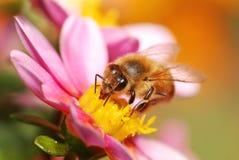 Una abeja de la miel que recoge el néctar Imagenes de archivo