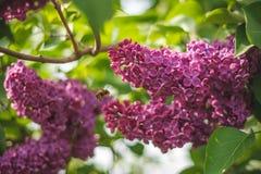 Una abeja de la miel recoge el polen de lila en el mes de mayo Plantas de miel Ucrania Imágenes de archivo libres de regalías