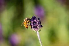 Una abeja de la miel visita una pequeña flor del romero Imagenes de archivo