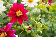 una abeja de la miel y una flor de las semillas oleaginosas Fotografía de archivo