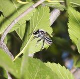 Una abeja de Leafcutter que hace un corte en una hoja Imagen de archivo libre de regalías