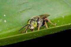 Una abeja de ojos verdes del cuco Fotos de archivo libres de regalías