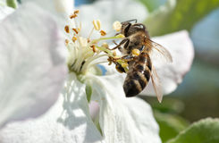 Una abeja de trabajador en una flor Fotos de archivo libres de regalías