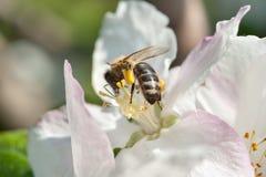 Una abeja de trabajador en una flor Imagen de archivo libre de regalías