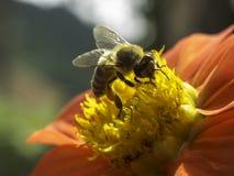 Una abeja de trabajo Fotos de archivo libres de regalías