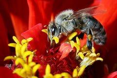 Una abeja de trabajo Imagen de archivo libre de regalías
