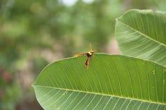 Una abeja de trabajo del perder en las hojas verdes Fotos de archivo libres de regalías