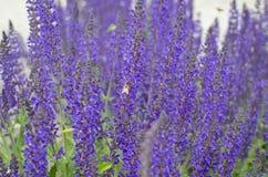 Una abeja de trabajo en las flores púrpuras Fotografía de archivo