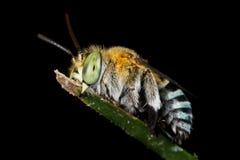 Una abeja del cuco el dormir Fotografía de archivo