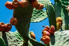 Una abeja del fliyng entre las frutas del higo chumbo Imagen de archivo libre de regalías