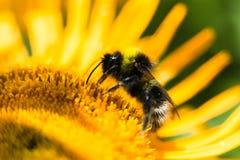 Una abeja del manosear alimenta en una flor amarilla de oro Imagen de archivo libre de regalías