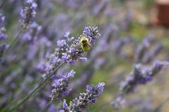 Una abeja del manosear en una acción de la lavanda Fotografía de archivo