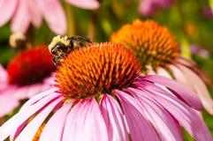 Una abeja del manosear en la flor del cono, terrestris del Bombus Imagenes de archivo