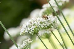 Una abeja del manosear en la flor de la cebolleta Fotos de archivo libres de regalías