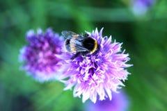 Una abeja del manosear en la flor de la cebolleta Imagenes de archivo