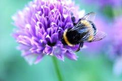 Una abeja del manosear en la flor de la cebolleta Fotografía de archivo