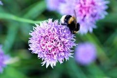 Una abeja del manosear en la flor de la cebolleta Fotografía de archivo libre de regalías