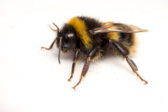 Una abeja del manosear en un fondo blanco Foto de archivo