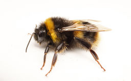 Una abeja del manosear en un fondo blanco Imagen de archivo libre de regalías