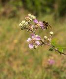 Una abeja del manosear en una flor de Blackberry Foto de archivo