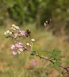 Una abeja del manosear en una flor de Blackberry Foto de archivo libre de regalías